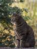 Temps de pause ** (Titole) Tags: gaïa sit bokeh cat katze kat gato gatto titole nicolefaton tigré tabby thechallengefactory