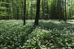 Bärlauch im Mönchbruchwald (nordelch61) Tags: hessen naturschutzgebiet mönchbruch wald wiesen baum bäume ast äste zweig zweige wurzel wurzeln bärlauch blüten blühen waldboden blütenteppich