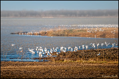 Oies des neiges sur fond brumeux /  Snow geese on a foggy background (Jeanluc Verville) Tags: oiesblanches snowgeese