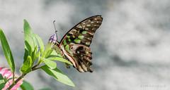 JM foto75-143 (janetankersmit) Tags: 2017 vlinders vlindertuin zutphen