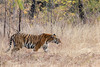 In defense mode (Thomas Retterath) Tags: thomasretterath baum natur nature forest wald 2017 tree india indien asia asien tadoba wildlife roteliste endangeredspecies gefährdetetierart animals tiere redlist bengalischertiger tiger felidae raubtiere predator carnivore säugetier mammals pantheratigristigris sunrays5 coth5