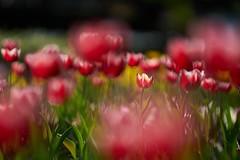 Spotlight / 聚光燈 (Diego Chiu) Tags: 桃源仙谷 鬱金香 bokeh flower tulip light march292017 explore