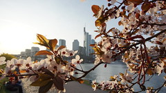 DSC08356 (malte_bau) Tags: 2017 sony alpha5100 frankfurt frühling kirschblüte mainufer skyline