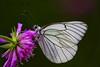 Butterfly- (francigb) Tags: pihlajaperhonen aporia crataegi
