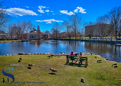 feeding the Ducks by the Duck Pond (Singing With Light) Tags: 2016 2017 9th alpha6500 ct duckpondapril gulfbeach milford mirrorless singingwithlight a6500 photography singingwithlightphotography spring