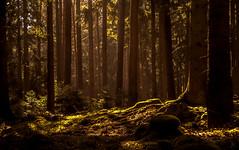 Traumwald (st.weber71) Tags: wald bäume licht sonne nrw natur outdoor waldboden panasonic lumix gx8 frieden romantik