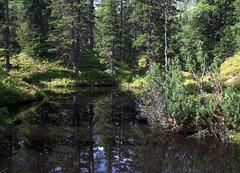 04-IMG_8372 (hemingwayfoto) Tags: österreich austria baum europa fichte hochmoor hohetauern landschaft moorauge nationalpark natur naturschutzgebiet rauris rauriserurwald reise tannenbaum urwald wald