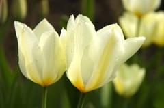 witte tulpen (ToJoLa) Tags: canon canoneos60d voorjaar lente spring zuidlimburg limburg zon wandeling ontrack kleuren landschap landscape uitzicht bloem flower wittetulpen tulpen wit tulip tulipa dorps druppel dauw
