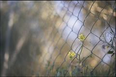 en plena tarde de áurea madurez (jotaaguilera) Tags: nikon d610 nikkor 50mmf14g luz light spring primavera flor flower nature fence hff bokeh dof yellow amarillo gold golden