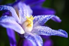 Plumbago (Jens Flachmann) Tags: flower blossom plant nature plumbago cerastostigmaplumbagionies lilac blue germany bielefeld closeup