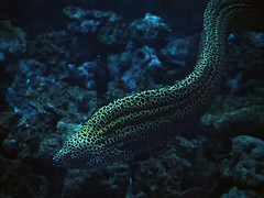 Murena huge snake sweaming at the blue ocean (mironenko1990) Tags: moray murena eel reef red sea underwater ocean coral fish gymnothorax nature diving water tropical animal marine scuba honeycomb favagineus indian giant mouth dive aquatic spotted beauty zanzibar travel barrier dangerous blue great leopard colorful yellow tulamben huge large hunting