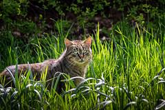 Le matou de Bagatelle (Lucille-bs) Tags: europe france iledefrance hautsdeseine boisdeboulogne bagatelle parcdebagatelle chat matou herbe félin nature animal lumière