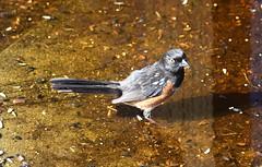 Towhee (careth@2012) Tags: towhee nature wildlife bird beak feathers