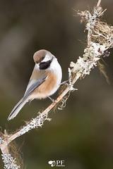 ''La Boréale!'' Mésange à tête brune-Chickadee boreal (pascaleforest) Tags: oiseau bird wild wildlife passion nikon nature québec canada animal boreal boréale perche momorency