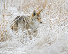 Coyote Hunts In Snow (Explored) (dcstep) Tags: n7a5151dxo aurora colorado unitedstates us coyote westerncoyote hunting grass frosted wildcanine canine canon5dmkiv ef500mmf4lisii ef14xtciii snow cherrycreekstatepark nature urban urbannature sanctuary allrightsreserved copyright2017davidcstephens dxoopticspro1131 pixelpeeper explore explored inexplore ngc npc copyrightregistered04222017 ecocase14949772801