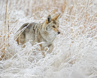 Coyote Hunts In Snow (Explored)