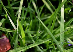 Morning dew sparkle (niknak2016) Tags: beautyinnature naturalbeauty nature natural naturephotography grass greenbeauty green ground growth dew dewdrops water waterdrops dewdropsongrass waterdropsongrass earlymorning morning moisture sparkle
