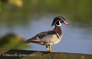 Wood Duck (Aix Sponsa) WODU - Male Proudly Watching its Offsprings
