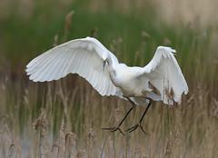 Great white egret ~ Ardea alba (Cosper Wosper) Tags: greatwhiteegret ardeaalba hamwall somerset levels