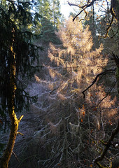 Winter light, The Hermitage, Dunkeld (Niall Corbet) Tags: scotland perthshire dunkeld hermitage nationaltrustforscotland nts winter forest light woodland