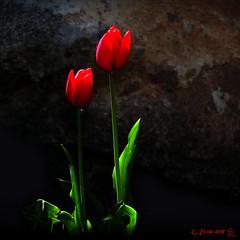 Tulipani rossi (G. Zicola) Tags: zicola giuseppe bisaccia irpinia italia italy tulipani rossi red tulip fiori flowers natura nature primavera spring paesaggiirpini fujifilm xs1 formato quadrato square format verde green penombra shadow silouette