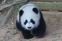 Xi Lun (smileybears) Tags: zooatlanta panda pandacub pandatwins giantpanda bear yalun xilun