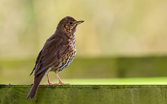 Song thrush. (greeny 1) Tags: bird birds birding nature wildlife leightonmoss rspb olympus 300mm omd mzuiko