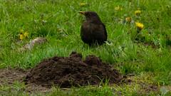 Female blackbird by molehill (Dave_A_2007) Tags: turdusmerula bird blackbird nature wildlife perton staffordshire england