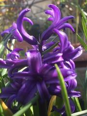 20170402_Terrasse_014 (weisserstier) Tags: blume flower frühling wien vienna pflanze plant tulpe hyazinthe