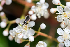 Petit insecte inconnu sur les fleurs de Photinia (calimelolo) Tags: printemps insectes objectif saison sigma105mmf28macro jardin