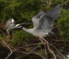 OC_042317z2 (Eric C. Reuter) Tags: oceancity nightherons yellowcrownednightherons nj april 2017 042317 rookery bridge visitorcenter