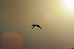Flying to the sun (Otacílio Rodrigues) Tags: gaivota seagull céu sky sol sun brilho voo flight brightness lensflare cabofrio brasil oro topf25