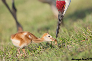 sandhill crane parent and colt feeding