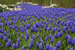 The Hyacinth Sea (JasonCameron) Tags: spring flowers color plant thanksgiving point utah grape hyacinth