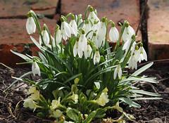 Wiosna Frühling Spring (arjuna_zbycho) Tags: kwiaty blumen flower zachódsłońca sonnenuntergang sunset sunsets sunrises clouds sky himmel atosphericclouds chmury wolken niebo przebisniegi schneeglöckchen snowdrops