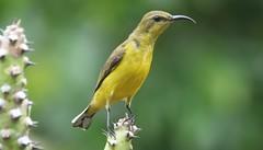 Olive-backed Sunbird (cynniris jugularis) (mrm27) Tags: singapore singaporebotanicgardens singaporebotanicgarden sunbird olivebackedsunbird cynniris cynnirisjugularis