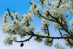 blooming plum tree - blühender Pflaumenbaum (ralfkai41) Tags: ngc pflaume spring pflanze nature plum frühling natur garden plant pflaumenbaum tree garten plumtree baum blossoms blüten outdoor