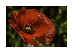 7DA_1264b Poppy Days Are here Again (foxxyg2) Tags: red floweres flora poppy poppies colour rouge greece greekislands naxos cyclades