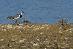Lapwing Checking Out New Head Crests... (paulinuk99999 - tripods are for wimps :)) Tags: paulinuk99999 lapwing british bird floodplain nature reserve old wolverton sal70400g