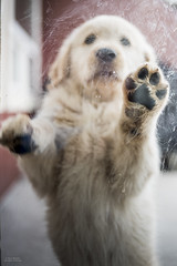 Window cleaning (Russ Beinder) Tags: goldenretreiver nugget cute dog puppy purebred geocountry exif:make=nikoncorporation exif:isospeed=64 geostate exif:model=nikond810 geocity exif:aperture=ƒ20 geolocation camera:model=nikond810 exif:focallength=35mm exif:lens=00mmf00 camera:make=nikoncorporation 0mmf0 1
