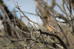 turdusmigratorius americanrobin robin birds highdesert oregonhighdesert oregon centraloregon wildlife conservation