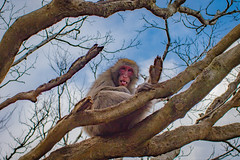 Hello Japanese macaque! (julesnene) Tags: arashiyama canon7dmark2 canon7dmarkii canonef35mmf14lusmlens iwatayamamonkeypark japan japanesemacaque juliasumangil kyoto macacafuscata monkey mtarashiyama oldworldmonkey animal destination julesnene macaque mountain native nature park snowmonkey travel kyōtoshi kyōtofu jp nihonzaru
