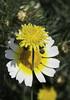 Margarita con Sombrilla (J.Gargallo) Tags: margarita flor flores flower flowers garden jardín macro macrofotografía castellón castellóndelaplana comunidadvalenciana españa eos eos450d 450d canon canon450d tokina tokina100mmf28atxprod