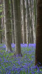 Europe - Belgium / Halle - Hallerbos (RURO photography) Tags: belgium belgië belgique belgien hallerbos halle blauw blue bleu flower bloem fleur fleurs boshyacint