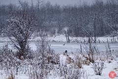 And it's back to winter boys and girls... (Kasia Sokulska (KasiaBasic)) Tags: fujix canada alberta elkislandnp nature geese ducks wild birds lake frozen snow