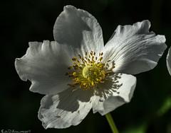 Spring Anemone (Bill Bowman) Tags: anemone springflowers ranunculaceae