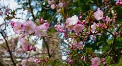 Fleur de cerisier Cherry blossom (CHAM BT) Tags: rose fleur printemps sakura branche joie lumiere soleil pink flower spring branch joy light sun