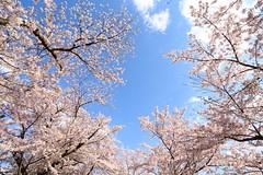 Fine day (Teruhide Tomori) Tags: kamoriver kyoto japan japon rakuhoku spring flower cherry sakura 京都 賀茂川 鴨川 春 桜 日本 bloom blossom