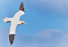 Gannet in flight 1 (petershaw4) Tags: gannet flight rspb reserve bempton cliffs east yorkshire
