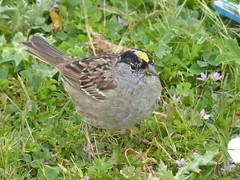 Golden crowned Sparrow (timber1212) Tags: ebparksok ebrp coyotehills fremontca sfbayarea golden sparrow marsh